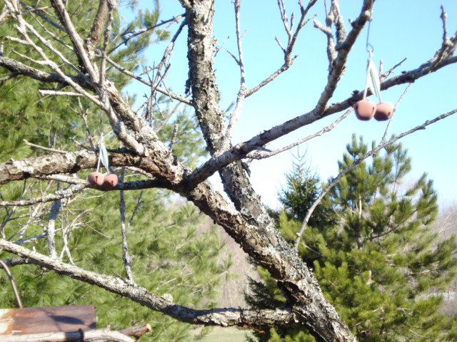 cherries on the old peach tree