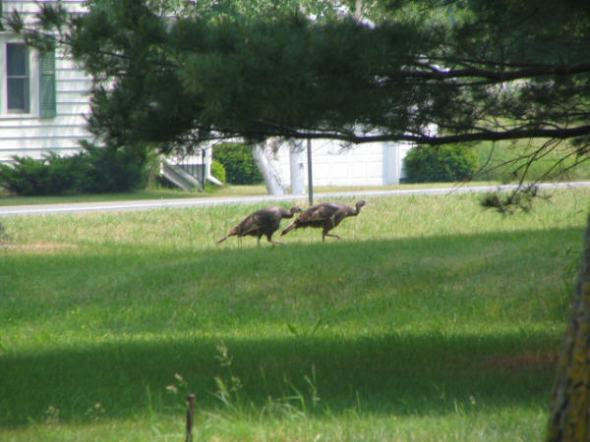 Turkeys on the front lawn