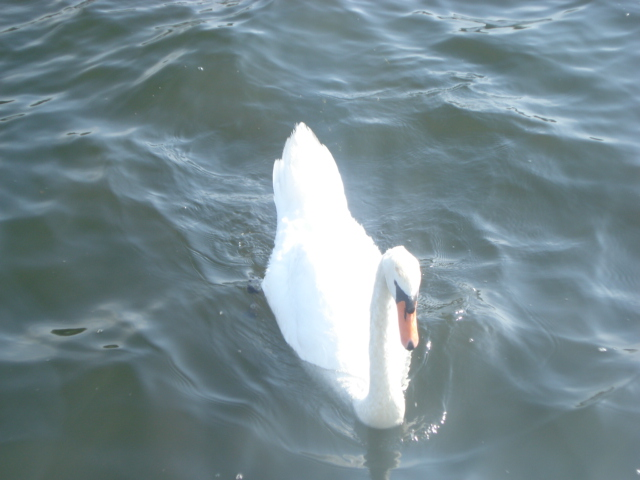 swan in Betsie Lake