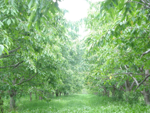 Allee of cherry trees
