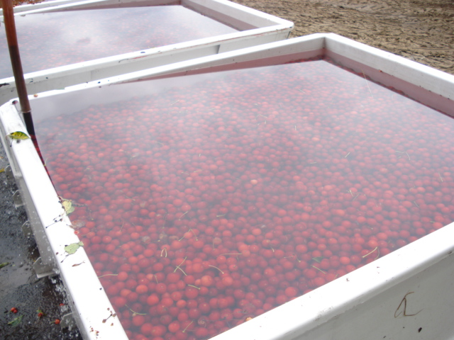 cherries are getting a bath