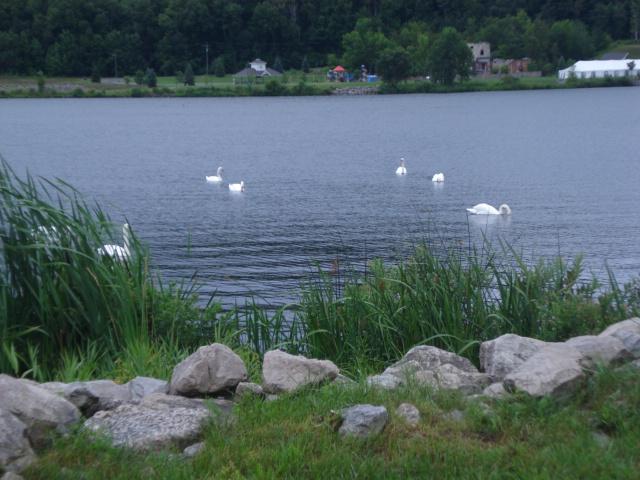 Swans in Betsie Bay