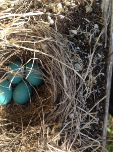 Robin eggs by The Goldfinch