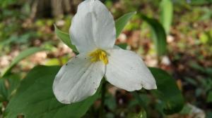 Trillium, Les White